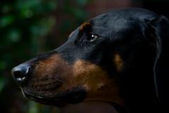 Buddy_sunshine-05779 (Dave M76) Tags: buddy dog a7ii sony fdn 70210