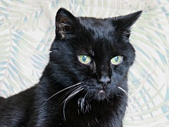 Wise Cat (knightbefore_99) Tags: cat kitty cute black chat gato negro noir princess eyes whiskers stare regal jungle awesome cool