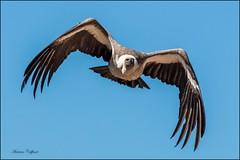 Vol du vautour (TonioSkipper) Tags: rapace vautour vulture vol fly majestueux vitesse speed ailes wings sky freedom libert grandeenvergure photographieanimalire canon canon70d canon70300mm animalphoto prdateur predator puydufou zoom