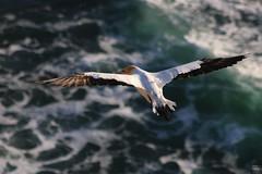 Soaring (Dragostesun Photography) Tags: aucklandphotographer aucklandcity newzealand nature tamakimakaurau aotearoa sol vida freedom gannetcolony