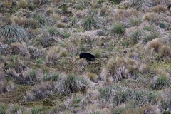 Our first Andean (spectacled) bear of the trip - on moorland (Paul Cottis) Tags: spectacled bear mammal papallacta ecuador paulcottis 9 august 2016 moor andean shortfaced ukumari ukuku