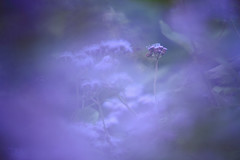 (HANAZONO) Tags: flower blue purple mist bokeh nature tamron 180mm macro hanazono japan
