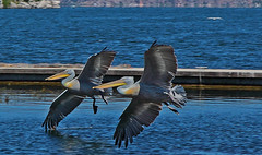 .. synchronization .. *explored* on Sept.20.2016 (monika strataki) Tags: white pelicans taking off location prespes greece monika strataki photography
