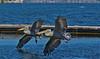 .. synchronization .. *explored* on Sept.20.2016 (monika strataki) Tags: white pelicans taking off location prespes greece monika strataki photography