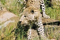 Cheetah ! (Mara 1) Tags: wildlife cheetah bigcat face legs whiskers eyes ears rocks green grass outdoors