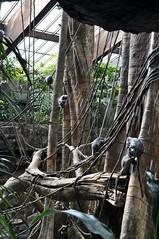 silvered leaf monkey (markusOulehla) Tags: bronxzoo nyc newyorkcity markusoulehla nikond90 citytrip thebigapple usa