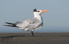 Banded Royal Tern 9_22 1 (krisinct- Thanks for 12 Million views!) Tags: nikon d500 500 f4 vrg