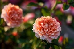 Mini Roses (drpavloff) Tags: flowers roses sun sunlight flower rose canon photo dof bokeh explore miniatureroses miniroses
