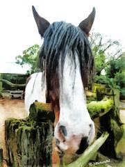 Bob Marley Reincarnated (Steve Taylor (Photography)) Tags: trees horse brown white dreadlocks fence long farm main longhair lifestyle ears jamaican bobmarley ishotthesheriff needshaircut reincarnated