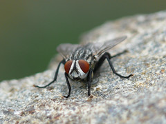 Flesh Fly - Sarcophagidae (midimatt) Tags: wisconsin fly wi newburg diptera fleshfly riveredge sarcophagidae ozaukee riveredgenaturecenter mattdrollinger matthewdrollinger