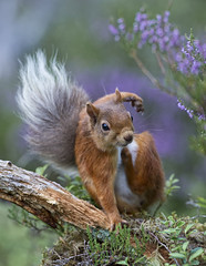 Red Squirrel with an itch (David C Walker 1967) Tags: nature scotland heather wildlife cairngorms redsquirrel cairngormsnationalpark scottishhighlands specanimal specanimalphotooftheday caledonianpineforest nikond3s