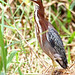 Green Heron (Ann & Walter Burns)