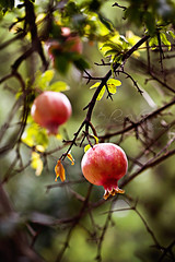 Nar / Pomegranate (zlem Ulu) Tags: tree fruit turkey pomegranate nar aa bandrma meyve edincik