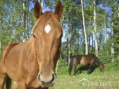 Hello Horse! (AlpineEdge) Tags: morning light horses horse food grass animals forest hair nose eyes eating farm ears pasture facetoface grazing birchtrees twohorses nutrision