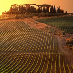 The lush grapevines under the Tuscan Sun (Bn) Tags: sunset red summer italy sun sunlight holiday colour tree green colors leaves gold florence oak topf50 cherries strada italia glow berries estate bright wine barrels small grow warmth dry visit hills vineyards tuscany grapes chianti fields strong farms cypress lonely wildflowers siena taste roads radda product toscane region topf100 plums fruity greve produced rubby vino flourish discover vinyards wijn casale bottling sangiovese cellars dello cultivated classico castellina hillsides harmonious castellinainchianti 100faves 50faves sparviero