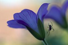 Descente en rappel (Jodaur) Tags: blue flower fleur skull spider crane bleu rappel araignée bleue