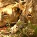 Duas leoas dorminhocas na beira da estrada