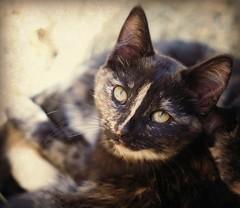 Calico cutie (Kim's Pics :)) Tags: canada cute texture cat kitten farm stripe kitty manitoba sleepy calico stonewall tortie picnik murraysmaze