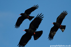 Chough (Pyrrhocorax pyrrhocorax) Explored (gcampbellphoto) Tags: ireland bird nature wildlife flight birdsinflight endangered chough corvid donegal bif biodiversity pyrrhocoraxpyrrhocorax threatened crwo irishwildlife gcampbellphotocouk