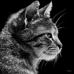 the thinker ~ self portrait :)) (fifich@t-Franise-growing physical disability) Tags: bw cat chat nb gato katze gatto moggy sep2 squarepicture nikond300 niksoftwaresilverefexpro2 fifichat1 frs fificht frs