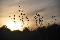 an ending (christiaan_25) Tags: autumn sunset sky plants sunlight black silhouette clouds season gold evening sundown gone september passed stems change wildflowers prairie deadheads mortonarboretum schulenbergprairie