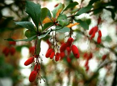Barberry (OlyaOleum) Tags: autumn moscow olympus barberry epl3 olympusepl3