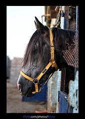 Horse ( [ Libya Photographer ]) Tags: horse canon eos 7d libya libyan benghazi