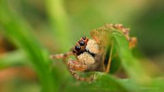 Yo en sus ojos (iohandesign) Tags: patagonia macro spider spiders fujifilm araña cipolletti izaguirre macrofotografia salticidae saltarina aracnidos saltadora artropodos raynoxdrc250 arañasaltadora arañasaltarina fujis200exr iohandesign sebastianizaguirre