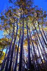 Quaking Aspens (Blue Falcon Foto) Tags: sun mountains fall colors backlight lite back aspens range quaking oquirhh