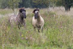 konikpaard / Konik horses (Dennis_Smit) Tags: canon wildlife natuur lelystad almere oostvaardersplassen konik wildlifeimages konikhorses konikpaard ovp konjiek eos7d canoneos7d dennissmit smitfotografie highqualityanimals