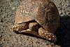 Wild tortoise in Kenya (Sallyrango) Tags: africa kenya tortoise anawesomeshot flickrdiamond lakebegoria