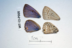 WT-12-P005 Lepidochrysops cf. neonegus borealis (lepdatabase) Tags: kenya borealis lycaenidae polyommatinae polyommatini lepidochrysops cfneonegus