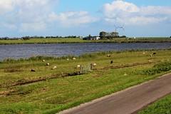 Sheep, dikes, and windmills (rcolonna) Tags: holland netherlands windmill sheep nederland dike noordholland uitdam