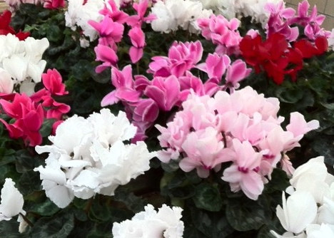 Red, pink and white cyclamen