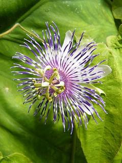 Passiflora 'Blue Desire'