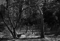 The Corral (Reptilian_Sandwich) Tags: trees wild bw mountains newmexico nature pen fence walking wire oak solitude hiking highcontrast canyon solidarity trunk posts vignette corral eveninglight conifer bluefilter blackrange railroadcanyon