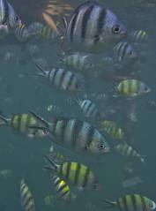 DSC09513 (andrewlorenzlong) Tags: fish swimming swim thailand snorkel snorkeling kohchang kohrang kohrangyai korangyai