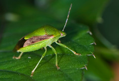 _DSC7429b (aeschylus18917) Tags: macro nature japan bug insect tokyo nikon   stinkbug nerima pxt 105mm nerimaku 105mmf28  shakujikoen   105mmf28gvrmicro d700 nikkor105mmf28gvrmicro  shakujipark  nikond700 danielruyle aeschylus18917 danruyle druyle   shakujiiken