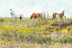 Horses 2 (The Shutterbug Eye) Tags: blue horses horse green field yellow print photography photo nikon picture photograph etsy wildflower homedecor fineartphotography painthorse d90 fineartprint grayhorse chestnuthorse dianemiller horsephotography theshutterbugeye dkmiller