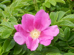 Wild Rose, Sutherland, July 2016 (allanmaciver) Tags: wild rose sutherland north west pink colour remote lonely sturdy allanmaciver