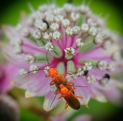 Cardinal Fun (nikkorglass) Tags: mating cardinal bugs kardinalbaggar sex copulating