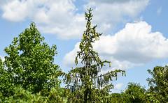 side of road tree (Dotsy McCurly) Tags: road tree pine cones blue sky clouds beautiful nature dof nikon d750 nj bananas