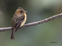 Tufted Flycatcher (Jorge Chinchilla A.) Tags: tufted flycatcher jorgechinchilla photography costarica birds