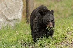 Salad anyone (ChicagoBob46) Tags: blackbear bear yellowstone yellowstonenationalpark nature wildlife