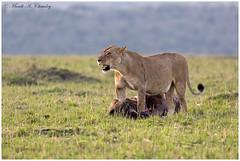 The Huntress! (MAC's Wild Pixels) Tags: thehuntress lioness femalelion queenofthejungle queenofthesavannah lionpride wildebeest hunter carnivore wildafrica wildanimal wildcats wildlife africanwildlife maasaimaragamereserve kenya macswildpixels ngc npc