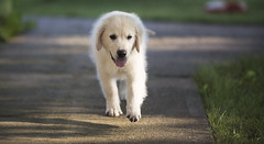 Hank3 (TaylorB90) Tags: taylor bennett taylorbennett canon 5d 5d3 7020028isii 70200 28 is ii 135l 135mm sharp golden retriever puppy goldenretriever goldenretrieverpuppy hank hoyt play cute animals puppies dogs farm