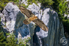 Adulte Gypate barbu. Massif du Bargy, Haute-Savoie. (R.G. Photographe) Tags: rgphotographe raphaelgrinevald reflex nikkor nikon rhnealpes bargy massif montagne savoie hautesavoie vautour rapace gypate gypaetus barbu barbatus lammergeier bearded vulture wildlife lpo oiseau bird mountains france french asters