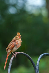 rainy day girl 2 (jimmy_racoon) Tags: 70200 f4l is canon 5d mk2 birds cardinal droplets nature rain red summer 70200f4lis canon5dmk2