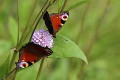 Sharing (liisatuulia) Tags: porkkala nymphalisio peacock butterfly neitoperhonen purtojuuri