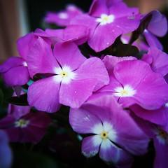 Vinca in the Sicilian Garden #sicily #italy #garden #vinca #flowers #plants #nature #outdoors (dewelch) Tags: ifttt instagram vinca sicilian garden sicily italy flowers plants nature outdoors